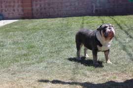 Blue english bulldog 1