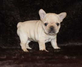 Cream color french bulldog male 10