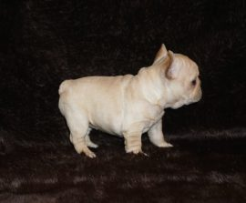 Cream color french bulldog male 8