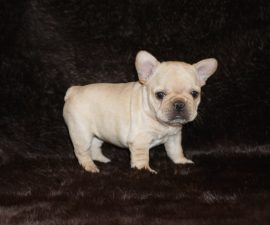 Cream color french bulldog male 9