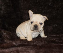 Cream Color French Bulldog 12