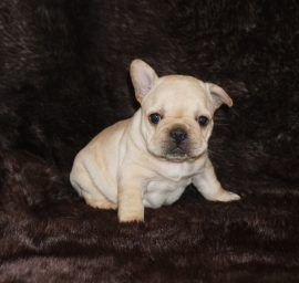 Cream color french bulldog male 4