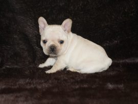 Cream color french bulldog male 3