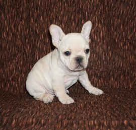 Cream color french bulldog male 25