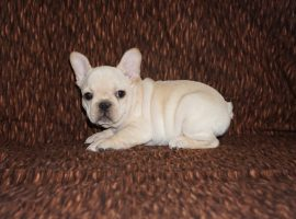 Cream color french bulldog male 27
