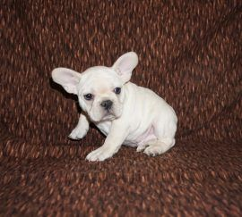 Cream Color French Bulldog 5