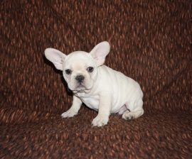 Cream color french bulldog male 21