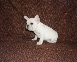 Cream color french bulldog male 18