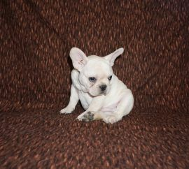 Cream color french bulldog male 19