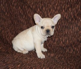 Cream color french bulldog male 15