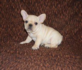 Cream color french bulldog male 14