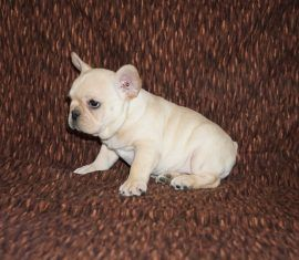 Cream color french bulldog male 13