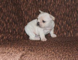 Cream Color French Bulldog 21