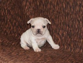 Cream Color French Bulldog 19