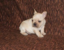 Cream Color French Bulldog 23