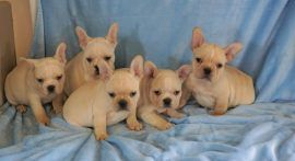 Cream color french bulldog male 31