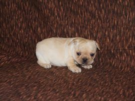Cream Color French Bulldog 14