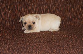 Cream Color French Bulldog 17