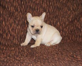 Cream Color French Bulldog 9