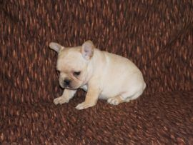 Cream Color French Bulldog 7