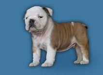 English pup
