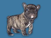 Black french bull dog