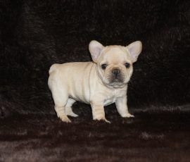 Cream color french bulldog male 7