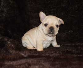 Cream color french bulldog male 6
