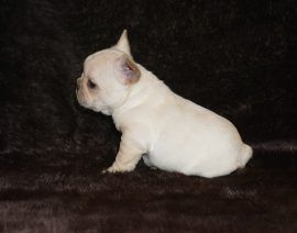 Cream color french bulldog male 1