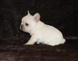 Cream color french bulldog male 2