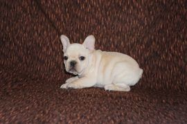 Cream color french bulldog male 22
