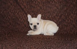 Cream color french bulldog male 23