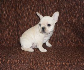 Cream color french bulldog male 24