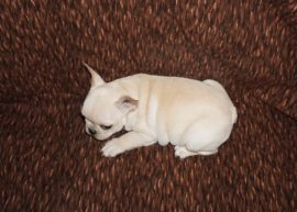 Cream color french bulldog male 17