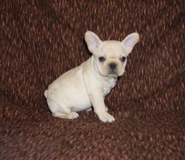 Cream color french bulldog male 11