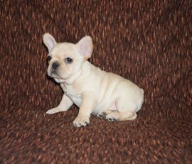 Cream color french bulldog male 26