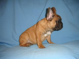 fawn color french bulldog female with black mask 9