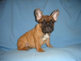 fawn color french bulldog female with black mask 10