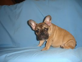 fawn color french bulldog female with black mask 5