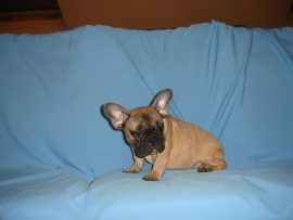 fawn color french bulldog female with black mask