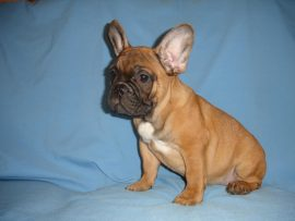 fawn color french bulldog female with black mask 7