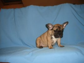 fawn color french bulldog female with black mask 6