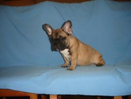 fawn color french bulldog female with black mask 1