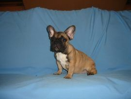 fawn color french bulldog female with black mask 2