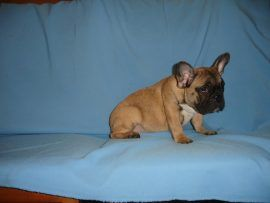 fawn color french bulldog female with black mask 4