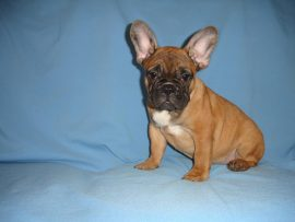 fawn color french bulldog female with black mask 8