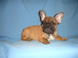 fawn color french bulldog female with black mask 12