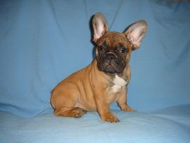 fawn color french bulldog female with black mask 11