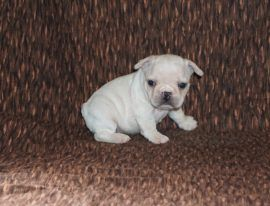 Cream Color French Bulldog 22