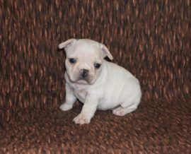 Cream Color French Bulldog 20
